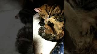 アメショー子猫産まれました