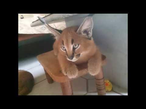 Характеристика породы кошек каракал, содержание в домашних условиях