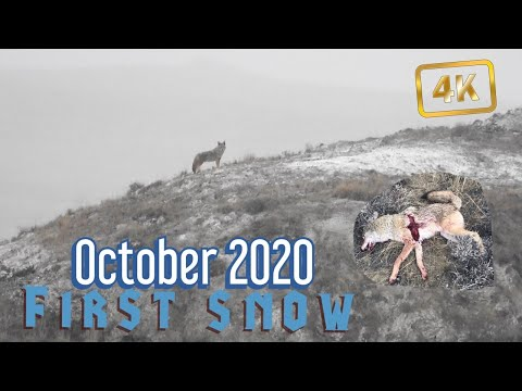 OCTOBER COYOTE HUNTING 2