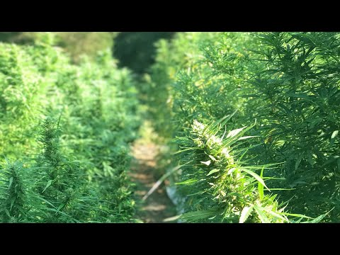 How to grow big hemp plants