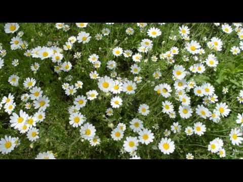 ФУТАЖ Огромное поле с ромашками Много ромашек Лето