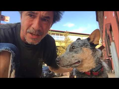 Australian Cattle Dog  E=mc2 working dog