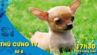 Thú cưng TV - Số 8 (P2) – Offline chó Chihuahua | SNTV