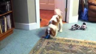 Cavalier King Charles Spaniel Mo Plays With Toy
