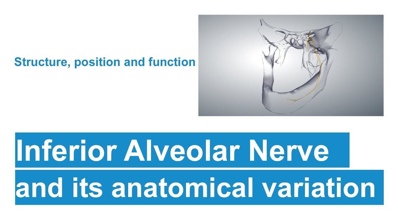 Inferior Alveolar Nerve And Its Anatomical Variation Youtube