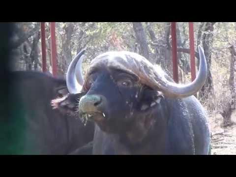 Cape Buffalo Hunt With Sofala Safaris