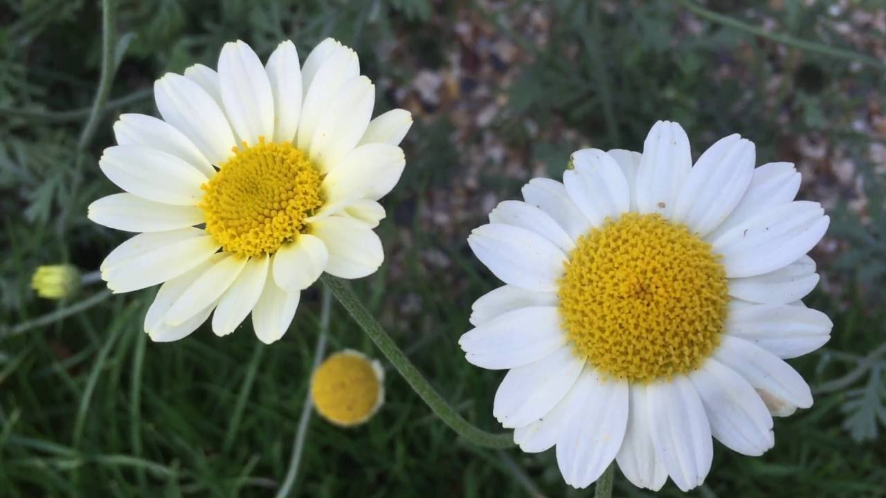 White daisy flowers blooming in garden daisy flowers gardening white daisy flowers blooming in garden daisy flowers gardening whitedaisy izmirmasajfo
