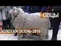 Показ овец пород: куйбышевская, манычский, советский, российский мясной меринос. З
