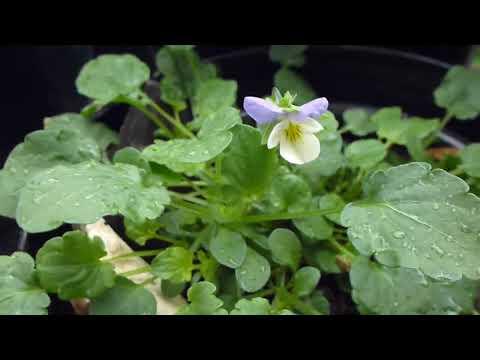 Icelandic plants in England -  Fjóla, Sólberjarunni og Birkitré