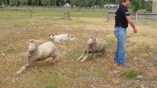 ニュージーランド 牧羊犬と毛刈りショー: 牧畜の国ニュージーランドに...