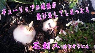 鉢に植えたチューリップの球根が、飛び出てしまったことってないですか...