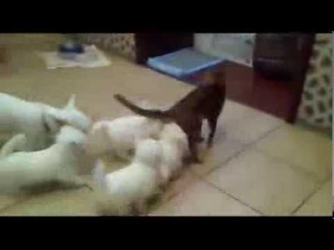 Köpeklerin Kediye Saldırısı-Cat Barely Survives Massive Puppy Attack