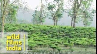 Driving through a tea garden in Assam, India