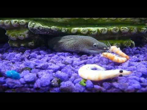 ever see a moray eel (gymnothorax tile) eat?