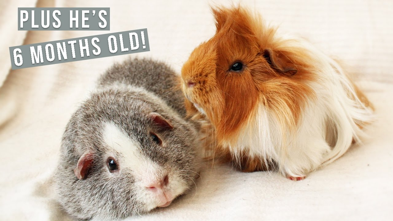Long Haired Vs Short Haired Guinea Pigs YouTube