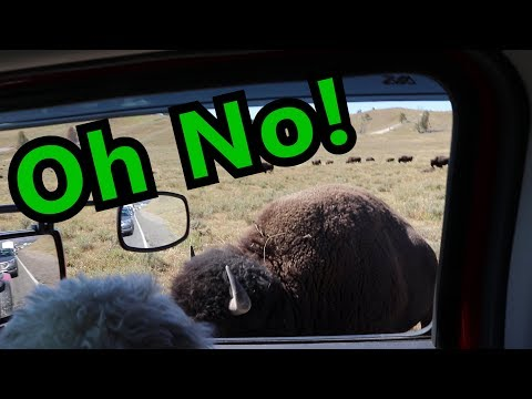 Bison Gets Very Close! K0PIR Yellowstone Parks On The Air Activation POTA