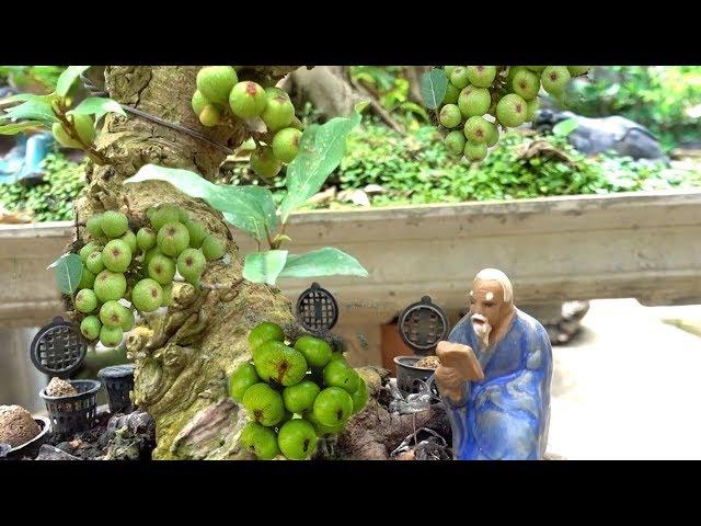 Từ bé đến giờ chưa thấy ai tạo dáng cây kiểu này, sung siêu quả giá rẻ, Selling Bonsai tree