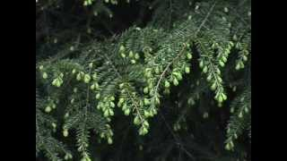 Edible Wild plants:  Eastern Hemlock Tree