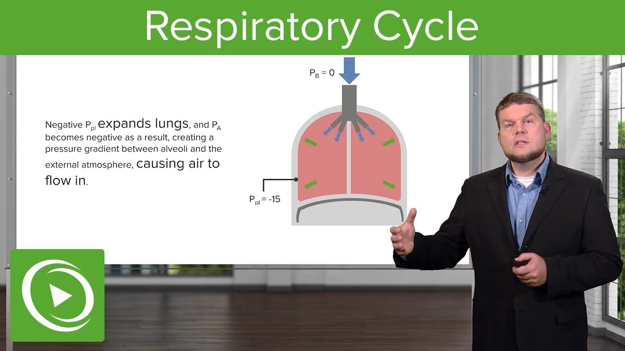 Respiratory Cycle: Breathing and Lung Mechanics – Physiology | Lecturio