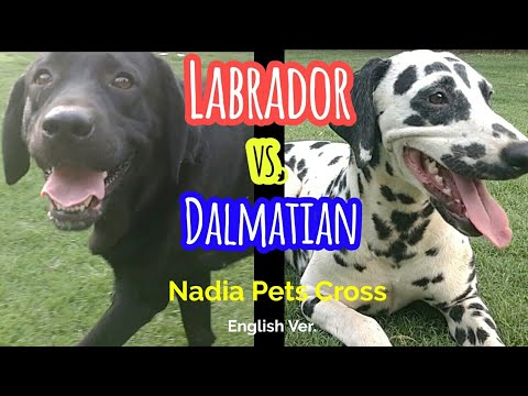 Labrador vs. Dalmatian l Comparison between Labrador & Dalmatian Dogs l Dogs Breeds Information