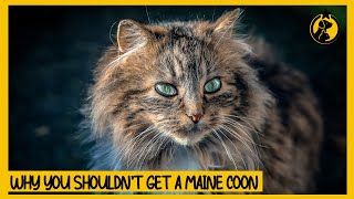 5 Reasons Why You Shouldn't Get a Maine Coon Cat