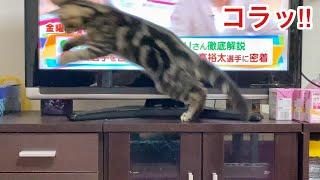 テレビを見る飼い主の妨害をして本気で怒られてしまった子猫w