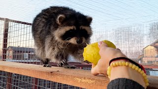 RACCOON ZEFIRKA EATS MANGO FOR THE FIRST TIME / Gorushka steals from guests