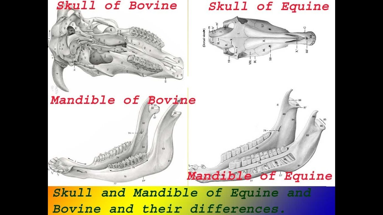 Skull and Mandible of Equine and Bovine - YouTube