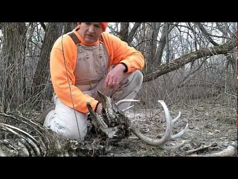 MONSTER BUCK CARCASS FOUND WHILE SHED HUNTING