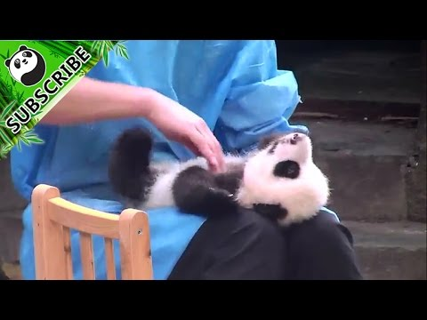 Panda enjoys massage from nanny.