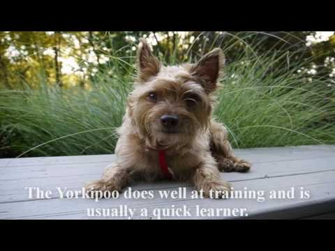 Yorkie Poo Puppy information for your favorite dog breed