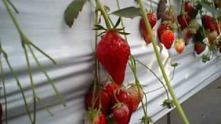 esrevnoc(エスレフノック) 1998 「sweet strawberry toast」 「あしたま...