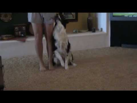 Training an agility dog inside the house!