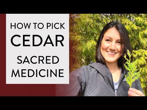 How To Pick CEDAR MEDICINE 🌲(Gathering CEDAR Medicine From Cedar Tree)