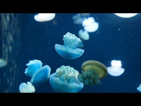 Jellyfish Video || Jellyfish Aquarium || Small Jellyfish In Aquarium || Fish Tank Video