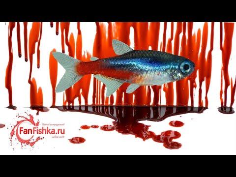 НЕОНЫ - рыбки рожденные на крови. Содержание в аквариуме, уход, совместимость и разведение!