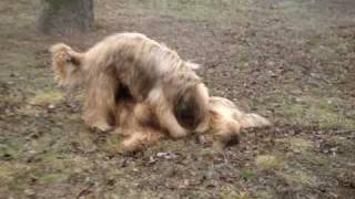 порода Briar(Французская овчарка)
