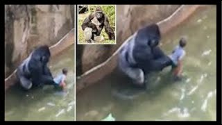 4 year old kid falls into gorilla pit   alx james