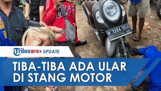Ular Bandotan Macan Muncul Tiba-tiba dari Stang Motor Musarofah, Sempat Senggol Tangan Saat Nyetir