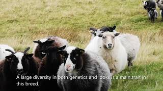 1st European Wool Day | Old Norse sheep