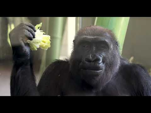 Endangered Gorilla Born On Mother S Day At Lincoln Park Zoo