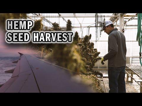 Harvesting Hemp Seed in Colorado