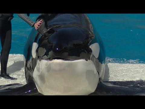 Orca Encounter (Full Show) Sept 15, 2017 - SeaWorld San Diego