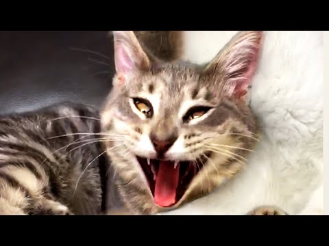 The Funniest Cats of the Week! Crazy Cute and Funny Cats