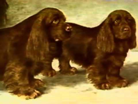 Sussex Spaniel - Chapter 1