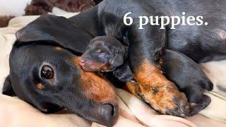 dachshund-is-giving-birth