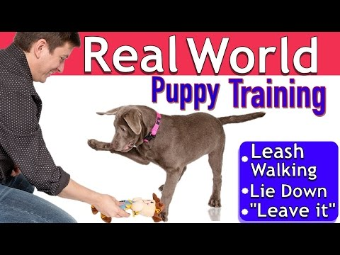 Easy Puppy Training: 3 Things 1 Session (Leash walking, Leave it, Lie down)
