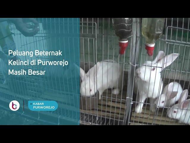 Peluang Beternak Kelinci di Purworejo Masih Besar