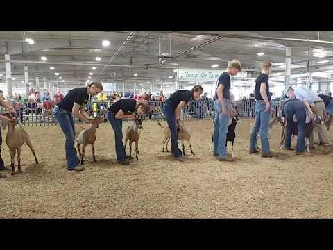 2019Lancaster County Super Fair - 4-H Dairy Goat Show