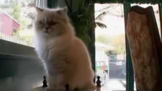 Гималайская кошка: описание породы, характер, уход